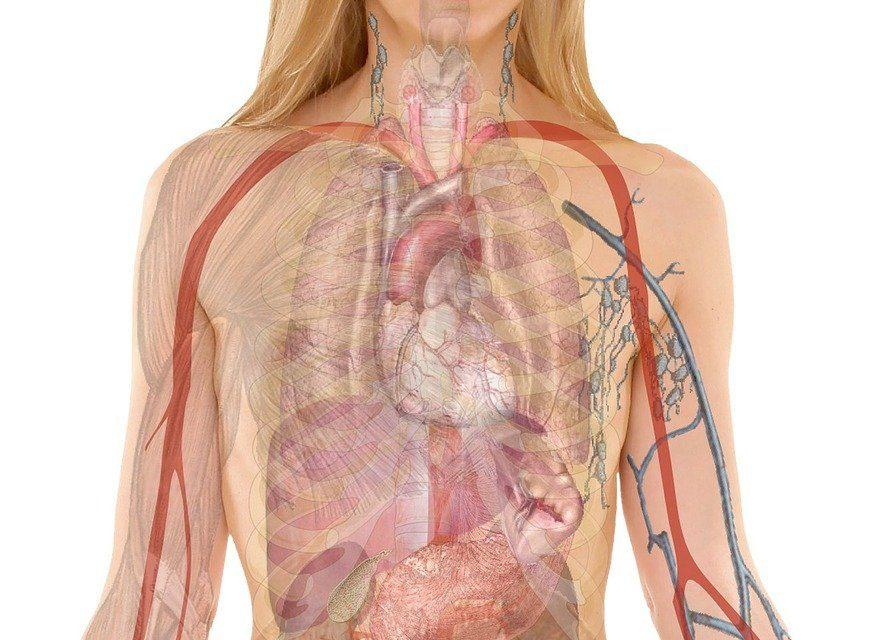 Quais são as partes da anatomia humana?