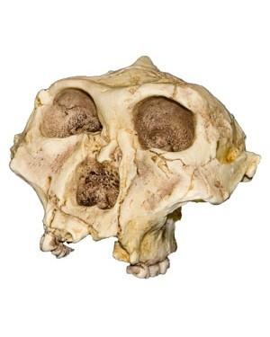 Crânio de Hominídeo (Paranthropus Robustus) BR 100 Bios Réplicas