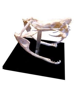 Crânio de Viperídeo (Dentição Solenóglifa) BR 103 Bios Réplicas