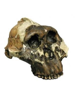 Crânio de Paranthropus Boisei BR 10 Bios Réplicas