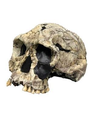 Crânio de Hominídeo (Homo Habilis) BR 15 Bios Réplicas