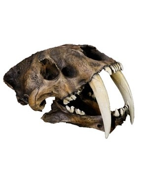 Crânio de Tigre Dentes de Sabre (Smilodon Fatalis) BR 17 Bios Réplicas