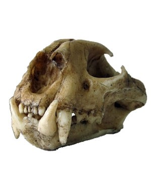 Crânio de Onça Parda BR 52 Bios Réplicas