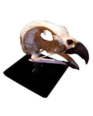 Crânio Ave de Rapina 3 (Leptodon Cayanensis) BR 108 Bios Réplicas