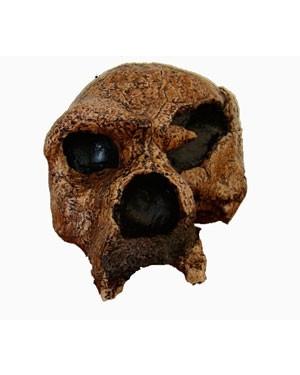 Crânio de (Homo Heidelbergensis) BR 97  Bios Réplicas