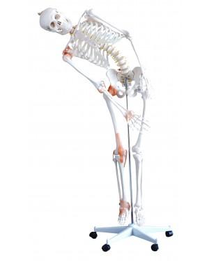 Esqueleto Humano 1,80m com Coluna Flexível e Rodas COL 1101-E Coleman