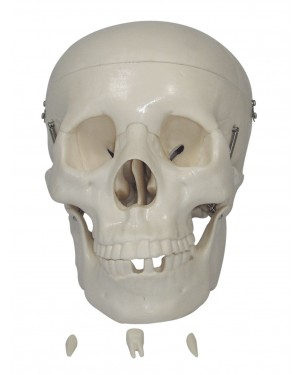 Crânio Tamanho Natural - 3 partes COL 1104 Coleman