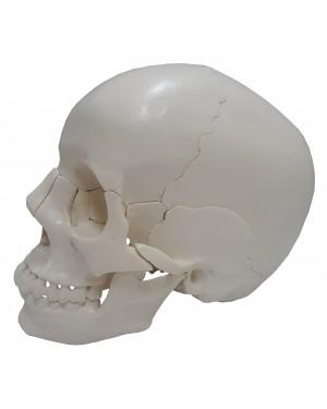 Crânio de Encaixe 22 Partes COL 1104-G Coleman