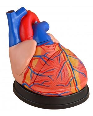 Coração Humano Gigante 3 partes COL 1307 Coleman