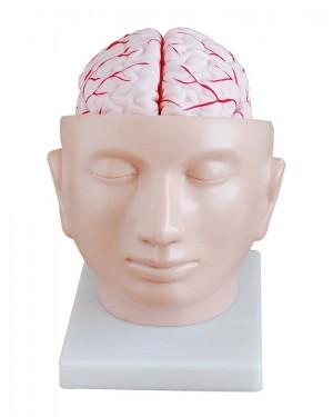 Cabeça com Cérebro com Artérias 9 Partes COL 1318 Coleman