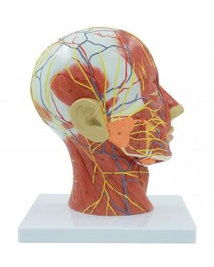 Corte Mediano da Cabeça Neurovascular COL 1335-N Coleman