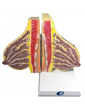 glandula mamaria em lactação