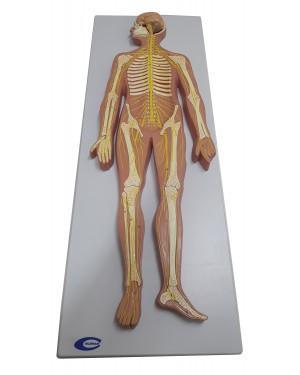 Sistema Nervoso em Prancha COL 1816 Coleman