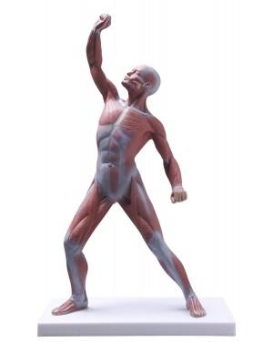 Figura Muscular 50cm COL 3702 Coleman