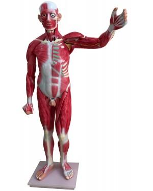 Figura Muscular com órgãos 170cm 30 Partes COL 1340 Coleman