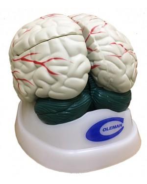 Cérebro com 3 partes COL 1304 Coleman