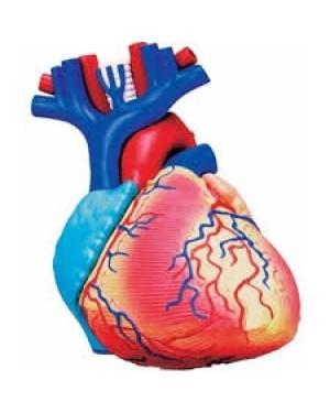 Anatomia do Coração com 31 Peças