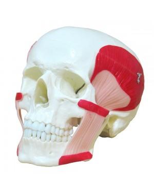 Crânio com Músculos da Mastigação em 2 partes na Loja Roster