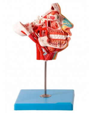 Crânio Facial com Demonstrativo de Nervos e Vasos, em 2 Partes TZJ-0300-N