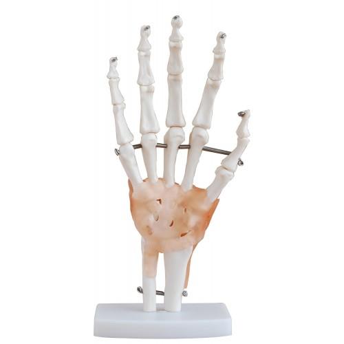 Articulação da Mão com Ligamentos COL 1114-A Coleman
