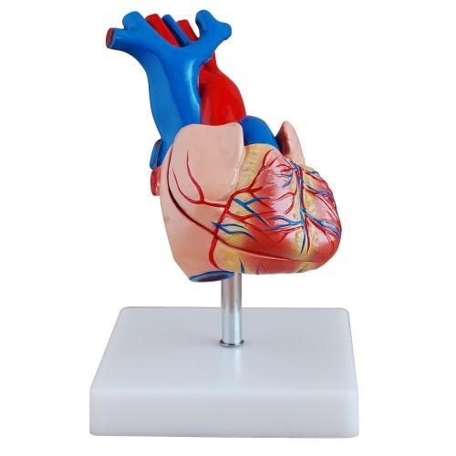 Coração Humano Tamanho Natural 2 partes COL 1307-A Coleman