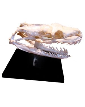 Crânio de Serpente Áglifa BR 101  Bios Réplicas