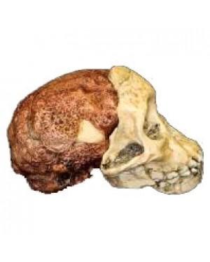 Crânio de (Australopithecus Africanus), Taung Child BR 13 Bios Réplicas
