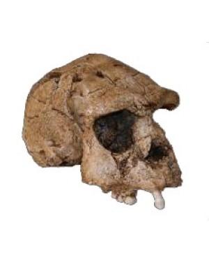 Crânio de Hominídeo (Homo erectus) BR 14 Bios Réplicas