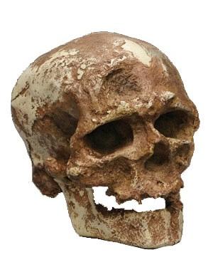 Cro-Magnon (Homo Sapiens) BR 21 Bios Réplicas