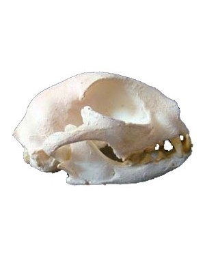 Crânio de Gato BR 55 Bios Réplicas