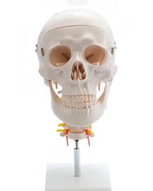 Crânio c/Coluna Cervical e Cérebro 13 Partes COL 1135-E Coleman