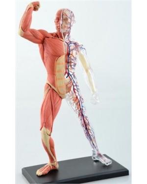 Esqueleto e Músculos 46 Partes QC-26058