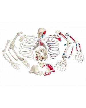 Esqueleto Completo Desarticulado com Origem e Inserção Muscular SD-5003/B
