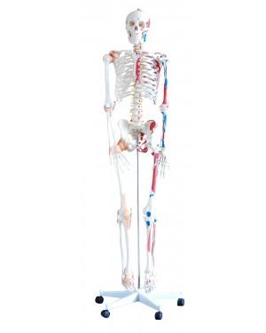 Esqueleto 1,80cm Articulado e Muscular com Rodas COL 1101-A Coleman