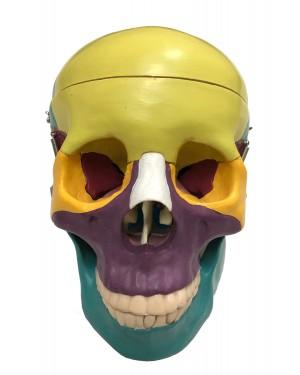 Crânio Didático Colorido - 3 partes  COL 1104-C Coleman