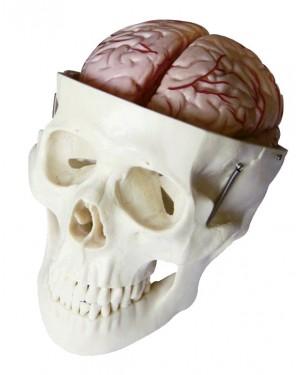 Crânio com Cérebro 8 Partes COL 1104-E Coleman