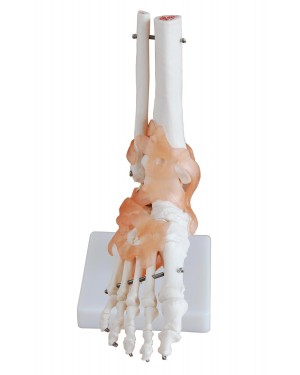 Articulação do Pé com Ligamentos COL 1113-A Coleman
