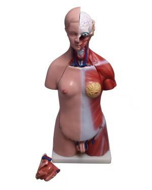 Torso Humano Bissexual 45cm e 24 Partes