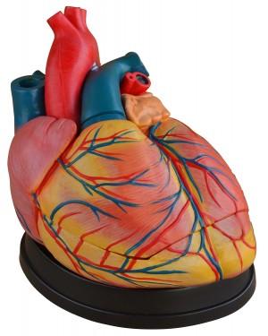 Coração Humano Ampliado 3 Partes Câmeras e Válvulas Internas Visíveis COL 1307-C Coleman