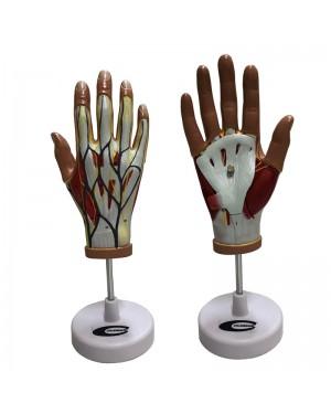 Mão Musculada 4 Partes COL 1339 Coleman