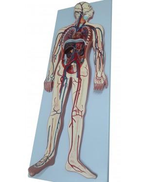 Sistema Circulatório Sangue em Prancha COL 1814 Coleman