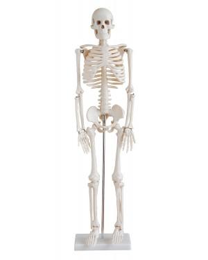 Esqueleto Humano 85cm com suporte COL 1102 Coleman