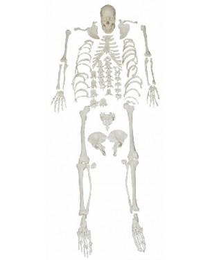 Esqueleto Humano Desarticulado COL 1130 Coleman