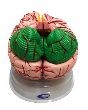Cérebro com Artérias Ampliado 12 Partes COL 1308-B Coleman