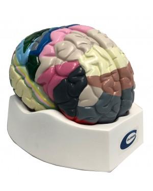 Cerebro colorido cortex
