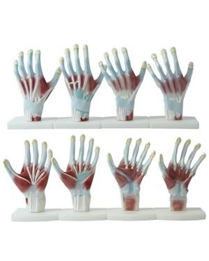 Mãos Anatomia 4 Partes COL 1325 Coleman