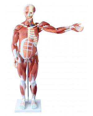 Figura Muscular Assexuado com órgãos 85cm 27 Partes