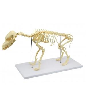 Esqueleto de Cachorro de Porte Pequeno (Resina Plástica) SD-9100