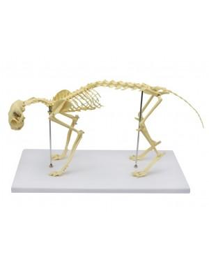 Esqueleto de Gato (Resina Plástica) SD-9200