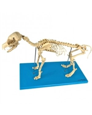 Esqueleto de Cachorro TGD-0601